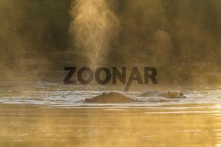 Hippos at sunrise on Olare Orok river
