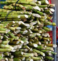 Bundles of fresh sugar cane for extracting the juice