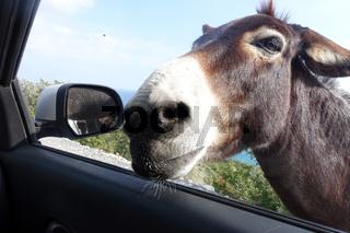 verwilderte Hausesel (Equus asinus asinus) auf der Karpaz Halbinsel