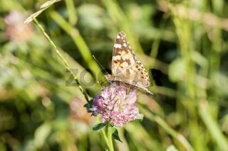 Blühender Wiesenklee mit Schmetterling