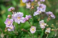 Geranium flower Summer Skies