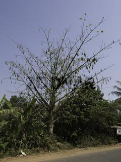 Kapokbaum mit Früchten