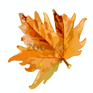 Maple leaf on a white background. Isolate