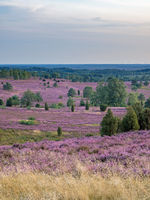 View from Wilsede hill through the landscape of Lueneburg Heath at sunset, Lower Saxony, Germany