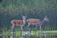 Red Deer hinds at a pond bank / Cervus elaphus
