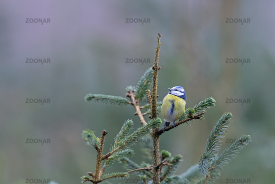 The branch of a Blue Spruce is used by a Blue Tit as a resting spot / Cyanistes caeruleus