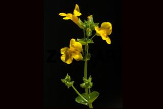 Gauklerblume; Mimulus; aurantiacus