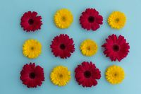 Yellow and red gerbera flowers arranged in rows on blue background