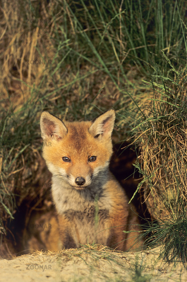 Red Fox kit looking alert out of the foxs den