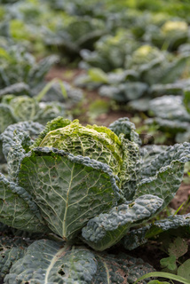 Gemüsekohl Wirsing - Feldfrucht Kohl zur Erntezeit in der Landwirtschaft
