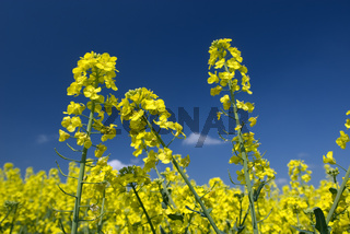 Rape Field/Rapsfeld