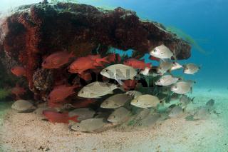 Spottail-Grunzer und Soldatenfische am Swanee Wrack, Mexiko