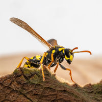 Portrait of a house field wasp crawling over a leaf against a blurred brown background