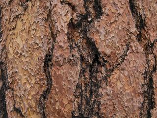 Teilweise verbrannte Rinde von einem Mammutbaum