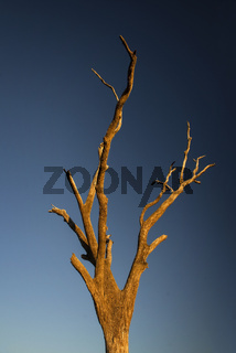 Dead tree at sunset with blue sky as background at the outback in Australia with copy space