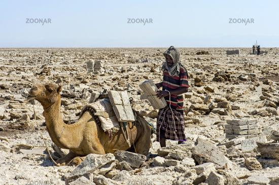 Afar shepherd loading a dromedary with salt slabs, Danakil Depression, Afar Region, Ethiopia