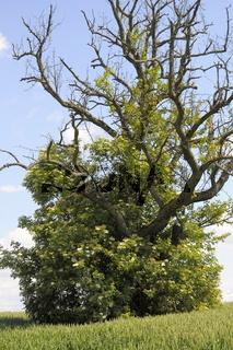 Birnbaum mit Holunder
