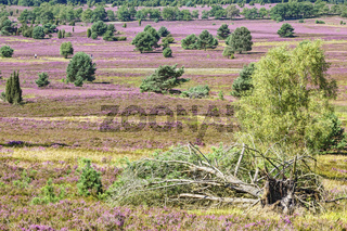 Nature Park (Nature reserve) Lüneburg Heath during the heath blossom, Northern Germany