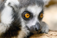 Close up Ring-tailed lemur Portrait in nature. High quality photography