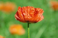 Blossom of poppy flower