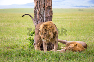Two big lions show their emotions to each other in the savanna of Kenya