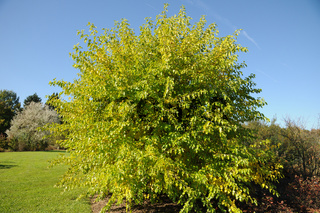 Morus alba, WeiŸße Maulbeere, White mulberry