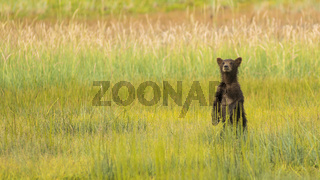 Young Grizzly Bear cub stands in the tall grass looking for his Mother