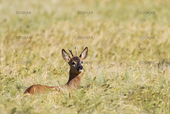 Roe Deer yearling intently looking out of a Barley Field