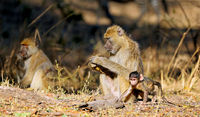 baboons, South Luangwa National Park, Zambia, (papio cynocephalus)