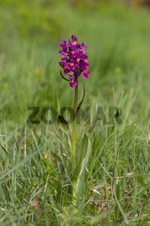 n1Holunder-Knabenkraut, Dactylorhiza sambucina, elder-flowered orchid