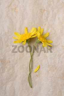 Flat lay of two yellow daisy flowers on aged parchment paper. Verticla with copy space.