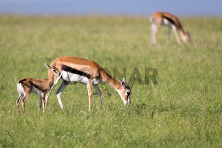 Thomson gazelles in the middle of a grassy landscape in the Kenyan savanna