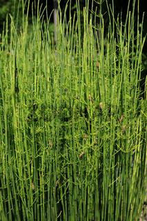 Equisetum fluviatile, Teichschachtelhalm