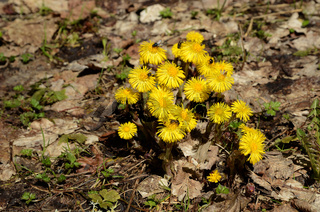 Huflattich, gelber Fruehblüher im Laubwald
