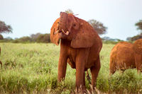 Red elephants in the savannah
