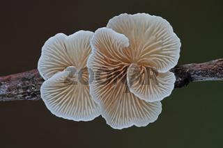 Gemeines Stummelfuesschen (Crepidotus variabilis)