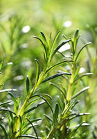 Green fresh rosemary spicy herb sprouts