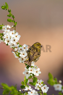Female eurasian siskin sitting on a blooming twig of tree in orchard