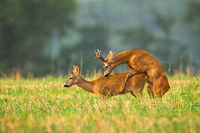 Roe deer buck and doe mating in rutting season on a stubble field