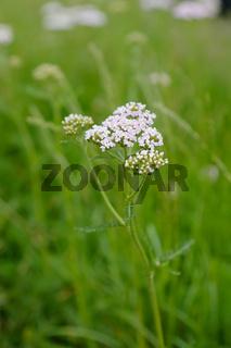 Gemeine Schafgarbe, Schaf-Garbe, Achillea millefolium, common yarrow