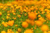 Spring Meadow Globeflowers