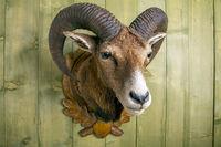 stuffed mouflon head in front of a rustic wooden wall
