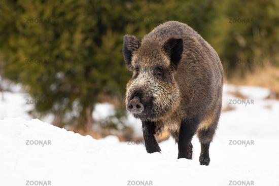 Wild boar moving on snowy field in wintertime nature