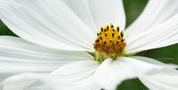 Garden cosmos, Cosmos bipinnatus