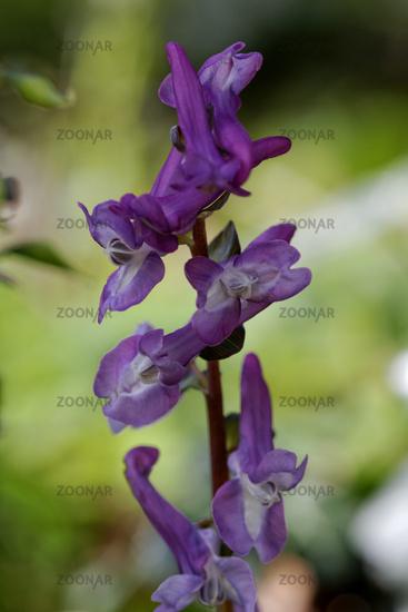 Corydalis cava, Corydalis flower, Fumewort