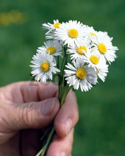 Straeusschen; Blume;  Gaensebluemchen,  Hand;