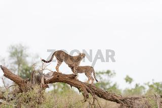 Cheetah portrait in the wilderness