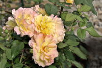 Gentle pink with yellow rose flowers in the garden