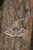 small emperor moth - male + female