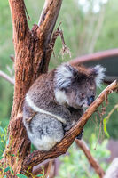 Koala is a charming marsupial mammal
